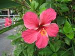 Haibiscus02